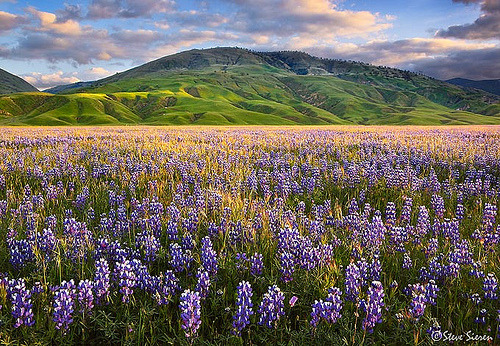 The Land of Lupine - Central California (by Steve Sieren • ScenicPhotoWorkshops.co m)