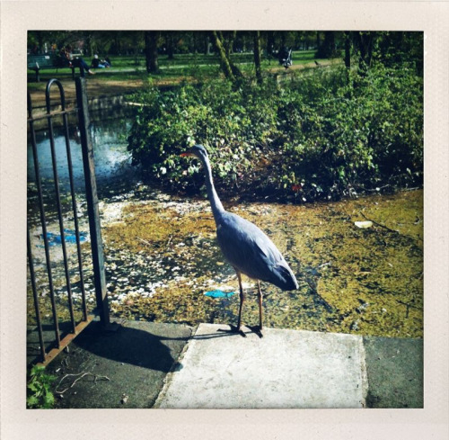 A heron in Walpole Park, Ealing. He was fascinating to watch, he stared into the pond for a long time and with such intense, unwavering concentration, despite the small crowd that had gathered around him, and eventually snapped up a tasty treat. There's a lesson there somewhere.