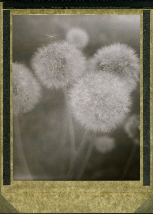 ilariainasense:  vintageparcels:  polaroidsandthoughts:  onethousandkilometers:   polaroidsandthoughts:   softness © Arne van der Meer Polaroid T53, 4x5.