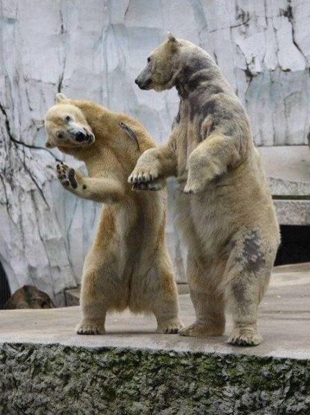 benbasso:  kidskidskids:  Twist!    I should be a polar bear, but it's impossible…