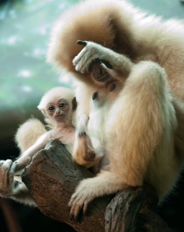 DAILY USE OF A PREHENSILE TAIL: No, this gibbon does not have a prehensile tail, but he is still an adorable ape.  Who needs those expensive Brookstone neck pillows on a plane if you have prehensile tail to wrap around your neck or prop up on? allcreatures:  White-Handed Gibbon.  Photographer Paul Becker captured these shots last week while visiting the Cincinnati Zoo. The two-month-old Gibbon is named Possum. Zooborns