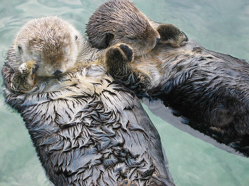 rwtfdrake:  bbones:  hrrrld:  Otters hold hands while they sleep so they don't drift awayi learned this one from bones' animal facts   :) Leah :3