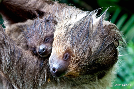 agentmlovestacos:  SLEEPY SLOTHS! (via @zooborns & @LiterateKnits) This is how everyone in our office feels right now after our big intern goodbye lunch. Also, I wanna hug a sloth.