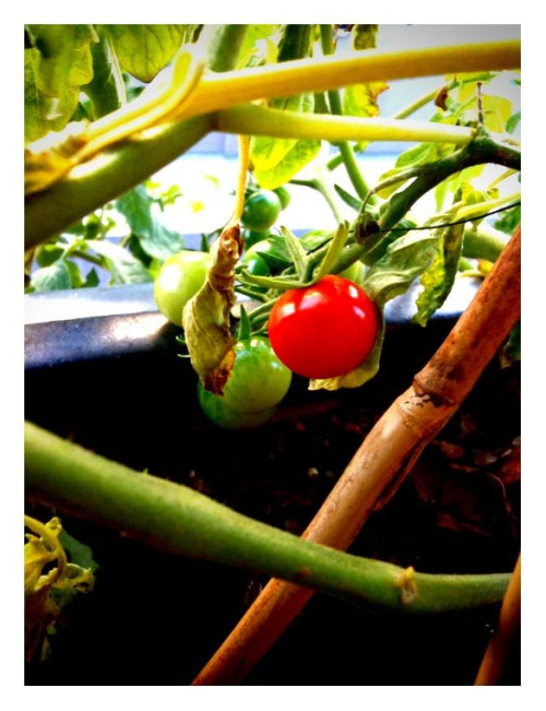 My single red cherry tomato. This is the only one that has ripened so far!