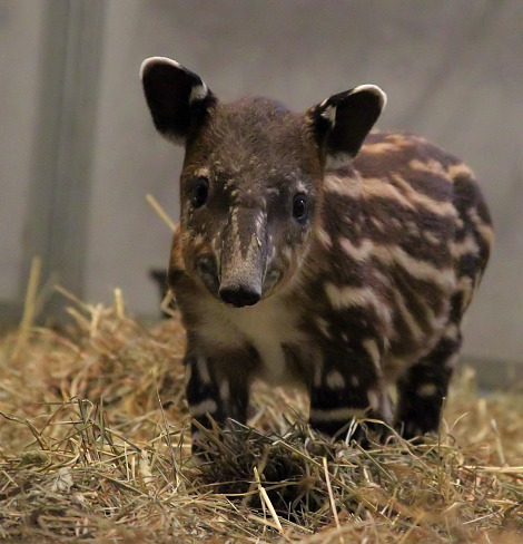A very endearing and cute Baird tapir calf called Noah was born at Nashville Zoo in the midst of torrential flooding.  More photos are available at ZooBorns.