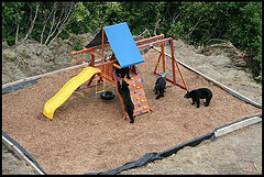 A mom living in Anchorage, Alaska, took this picture of black bears playing on her sons' playground set.  She has since set up an air horn to scare away wildlife when her kids are playing outdoors.  ~ Anonymous, 2006:   Real