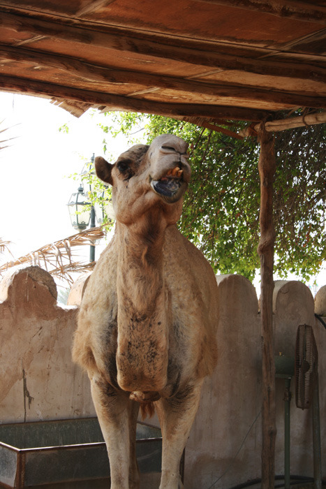Camels don't give a fuck, rock on big guy!