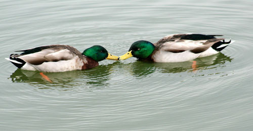 "readmorewikipedia:  Mallards have rates of male-male sexual activity that are unusually high for birds, in some cases, as high as 19% of all pairs in a population. No species has been found in which homosexual behaviour has not been shown to exist, with the exception of species that never have sex at all.  GAY DUCKS!! This made my day. (Also, this is what a duck dick looks like: http://www.youtube.com/watch?v=qwjEeI2SmiU [Aptly titled ""Explosive eversion of a duck penis.""] You're welcome.)"