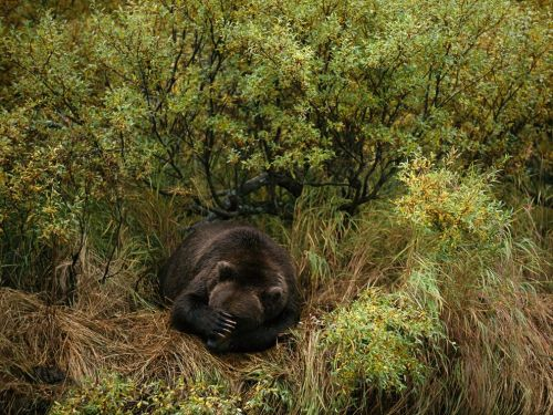 Big cat nationalgeographicdaily:  Brown Bear Napping, AlaskaPhoto: Joel Sartore Safely bedded down, a brown bear takes a nap after fishing in the Katmai National Park and Preserve of southern Alaska.