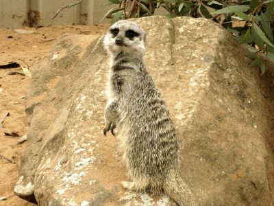 Such a cute little thing.  Meerkat. - Monarto Zoo, 05/10.