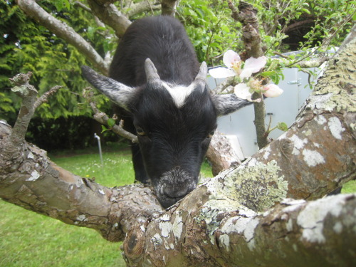 Extreme tree-climbing goat is extremely cute.