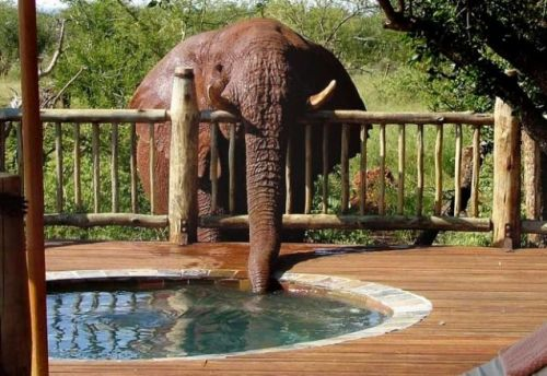 allcreatures:   Female elephant with the nickname Troublesome was caught on camera draining the jacuzzi by a guest at Etali Safari Lodge in South Africa.  Staff and owners had been scratching their heads for weeks trying to work out what was the cause of the mystery leak. (Metro UK)