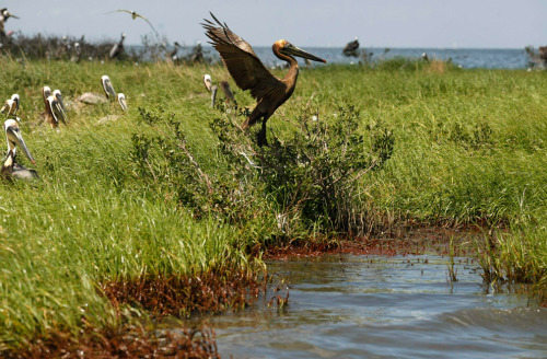 robot-heart-politics:   An oil-stained pelican leaves its nest as oil washes ashore on an island that is home to hundreds of brown pelican nests as well at terns, gulls and roseated spoonbills in Barataria Bay just inside the the coast of Louisiana, Saturday, May 22, 2010. (AP Photo/Gerald Herbert) (via Oil reaches Louisiana shores - The Big Picture - Boston.com)