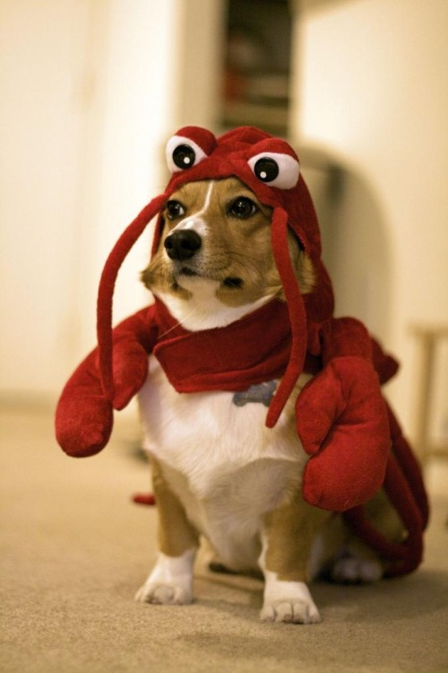 (via fuckyeahcorgis) Lobster Corgi