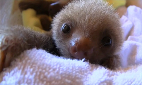 This sloth is my favorite sloth from the adorable sloth video.