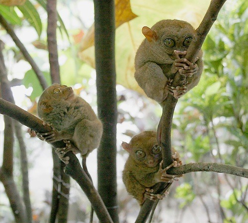 tarsiers -possibly the most adorable tiny creature on the planet