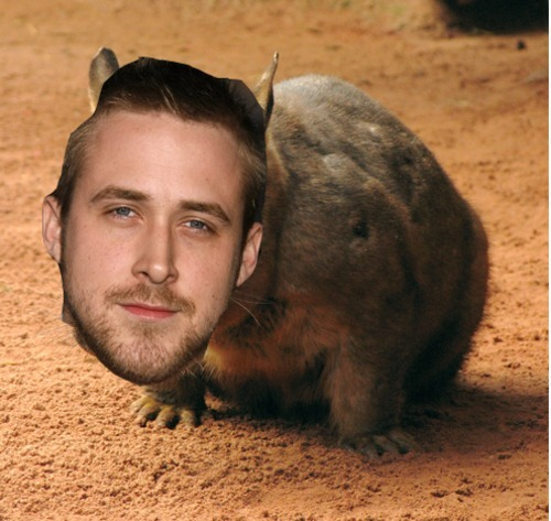 mypoorlover:  ryan gosling as a wombat