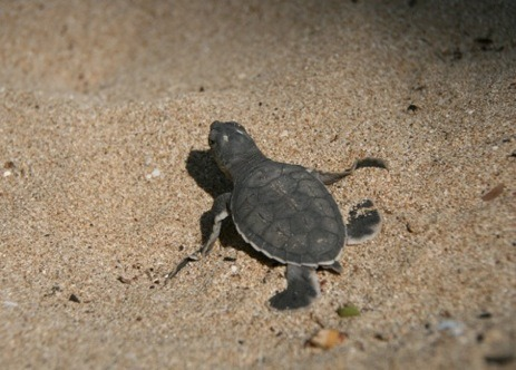Conserving Green Turtles in Pangombahan Beach, Ujung Genteng, Indonesia Far from the crowded city life, in a very natural habitat, you'll find the green turtles visiting Pangombahan beach in the evenings. The long hours wait for them to lay their eggs is really worth seeking as you don't see this in everyday life. Flipping their flippers into the sand, it could take like three hours to finish opening up a whole and then another couple of hours to lay hundred of eggs and cover them back with sand. Just to see these eggs hatched into cute baby turtles that the locals called 'tukik' the next day is really fascinating. In less then twenty-four hours these cuties are released into the wild hoping they would survive and come back the following years. Just can't wait to see them again.