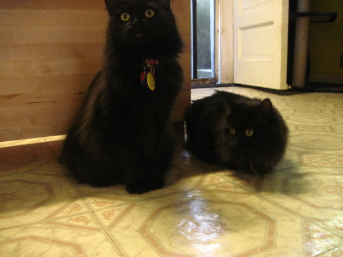 orgyincamelot:  My cats are all kinds of adorable. This is Ender (left) and Felix Felicis. Felix is super shy and nobody ever sees her except me. She was taken in as a feral kitten last July and she's still very wary of people. But she's fascinated by cameras! Ender is just gorgeous and she knows it. She's been with me since the day she was born and, as a result, she's super spoiled.  Look! Proof that Felix is actually real and not just Ender pretending to be two cats.