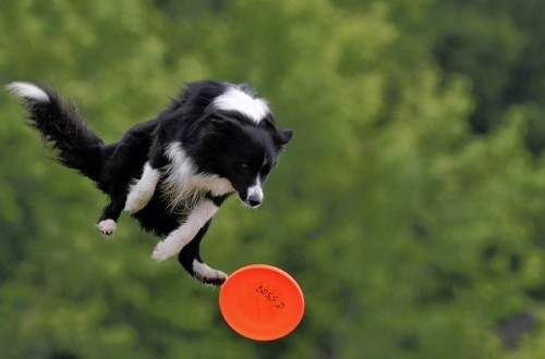 drudgeons:  If anyone knows how to procure one of these flying dogs, please let me know. I plan on purchasing a team to pull my dogsled for the Skyditarod.(via allcreatures)