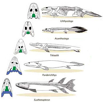 evolutionary Development of fish to tetrapod. Shows Skull morphology with Tiktaalik Roseae have intermediate forms and proving itself the missing link.  via www.earthhistory.org.uk