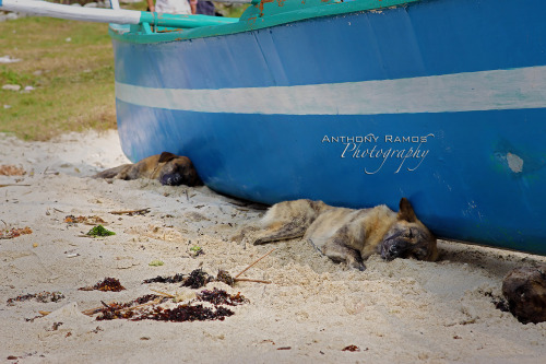 "30/365. Working Like a Dog. Taken at Pagudpud, when I saw the dogs sleeping trying to get under the shade of the boat, the Beatle's song kept running inside my head. ""It's been a hard days night and I've been working like a Dog…""  Camera Info: Canon 50D 