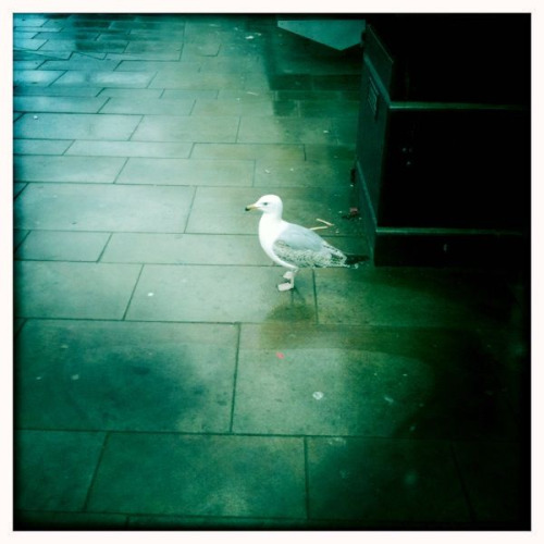 A little seagull in Scarborough.