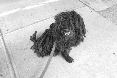 terrysdiary:  Dreadlocked Poolie Dog on Bond St.