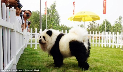 Panda Dog, Dog Made To Look Like Panda. Looks Like Panda.