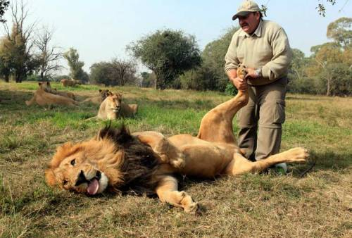 Amazing pictures have emerged of a brave lion handler giving a 250kg big cat a loving foot rub. Alex Larenty, 50, has built a unique bond with nine-year-old Jamu by  tickling him on his giant paws at The Lion Park, outside Johannesburg. [via http://news.ninemsn.com.au/]