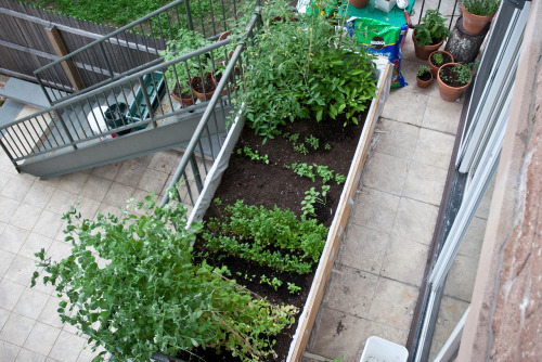 The garden overfloweth. Growing: 19 varieties of heirloom tomatoes, grape tomatoes, snow peas, cilantro, basil, sage, pineapple sage, peppermint, thyme, lemon type, green + red bell peppers, and kirby cukes.