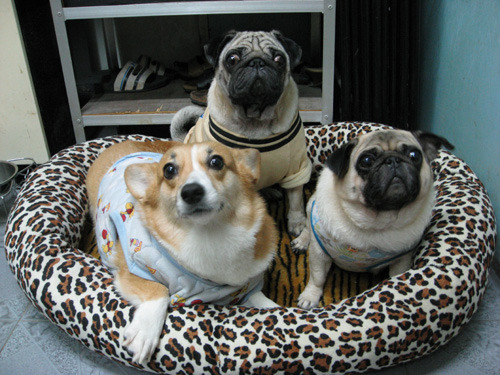 corgi with his pug pals