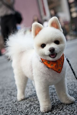 White pomeranian with Shiba Inu cut. Cutest thing ever y / y ?