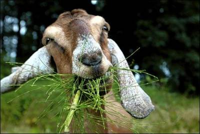 "Put the WeedWhacker and Herbicides Away, Get a Goat | UrbanNeighbourhood.com  ""University of Northern British Columbia professor Annie Booth tracked the effectiveness and eating habits of a herd of goats over the span of two years. ""Turns out that goats are incredibly effective in clearing weeds; while any farmer could have told you that this was the case, Booth's study is the first that actually quantifies the lawn management skills of a heard of goats. ""The University of Washington's Bothell campus hired a number of goats a few weeks earlier, and is considering acquiring a permanent herd. The University has discovered that, not only are goats cheaper than human labor, but they also provide free fertilizer. The university says that the goats are a way to cut their carbon emissions."""