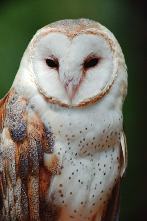 Oh you beautiful barn owl!