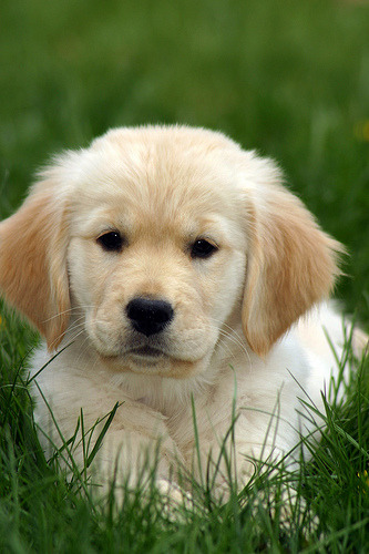 "The little family and I are in ""talks"" with a Golden Retriever breeder! We are crazy. But Gosh! Look at that face. How can we resist? The puppies will be born in July and one will *hopefully* come home to us in September. It's like having a baby! Ek!  (photo by rkleine)"