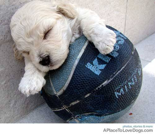 aplacetolovedogs:  Maria  Nina I may be sleeping but the ball is mine!