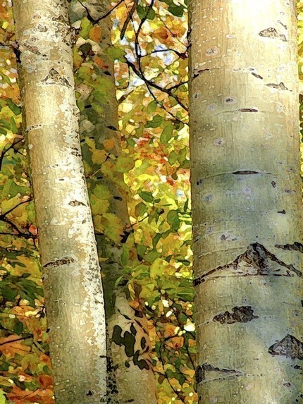 Loving this photo. Birch Trees in Light Original Signed Fine Art by AliciaBock