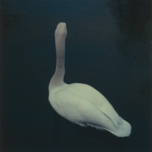 There is no such thing as a photograph of a swan that isn't lovely.
