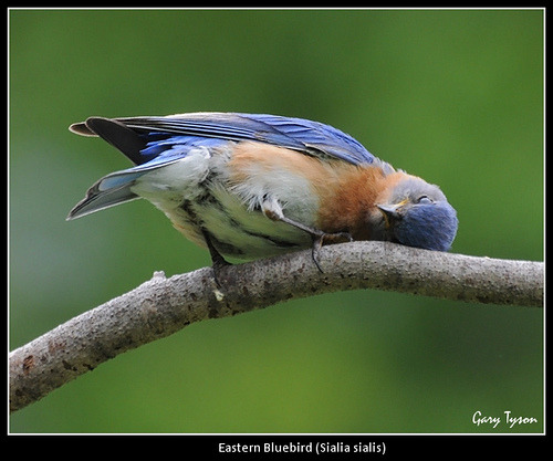 proust73:  Bluebird Nap Time (by GaryT48)