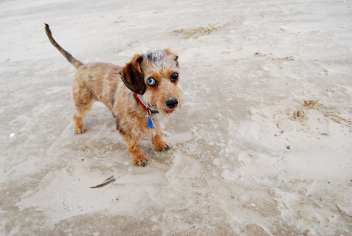my Dachshund, Penelope, at the beach