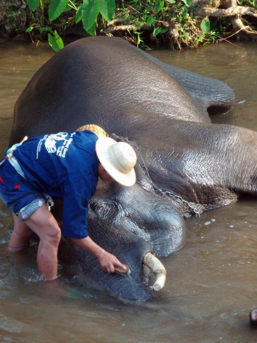 Each morning elephants get a hand scrub bath! What a joy to watch.  I had an opportunity to visit Maesa Elephant Camp which is home to one of the largest assembly of elephants in the north of Thailand.