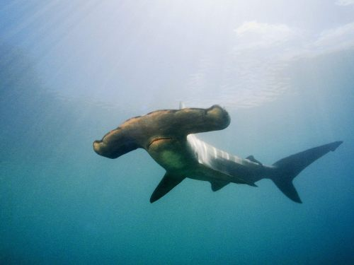 it's almost hammer[head] time: anxiously awaiting shark week on discovery… #sharkweek @discoverychannel