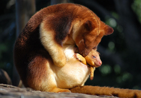 Melbourne Zoo's new Goodfellow's Tree Kangaroo joey is making his first appearance out of the pouch at 25 weeks old. More photos are available here.