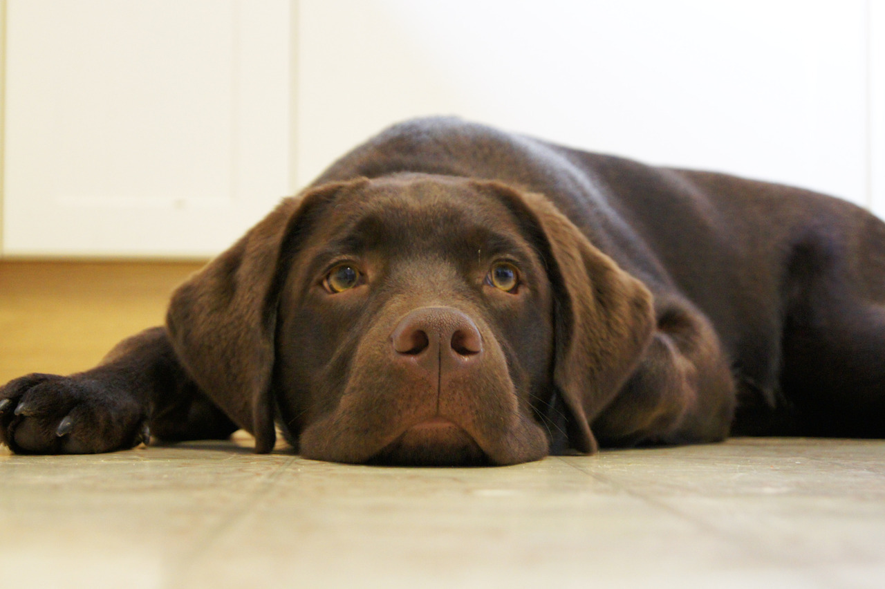 chocolate lab. need i say more?