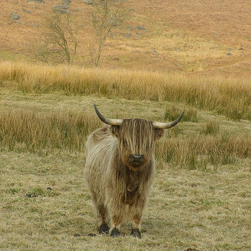 landscapelifescape:  (via fuckyeahhighlandcattle)  WAHAHAHAHAHAHAHA! This is great! If I had to be a piece of cattle I'd want to be this guy right here!