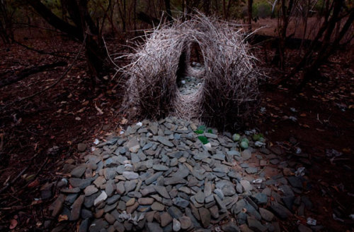 I also thought this was an Andy Goldsworthy piece! AMAZING! sub-studio design blog: Bowerbirds