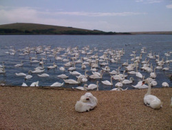 A majesty of swans at Abbotsbury Swannery, Dorset. Home to the largest colony of mute swans in England, 1,400 winter here, and each season, 160 mating pairs rear their cygnets beside the eight-mile long Fleet.