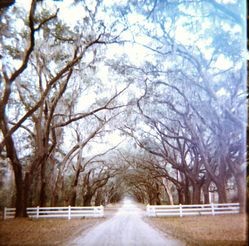 A mile of live oaks buried deep in the south leading to her Tara