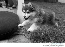 TerraNik  Weeee…10 week old Fable Finnish Lapphund